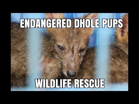 Endagered Orphan Dhole Puppies - Asiatic Wild Dog Rescue