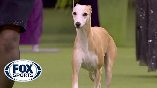 'Bourbon' the whippet wins Best Hound at 2020 Westminster Dog Show | FOX SPORTS