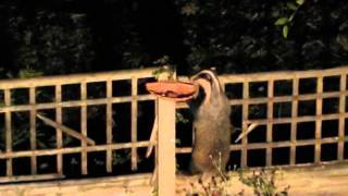 Badger Bird Table thief