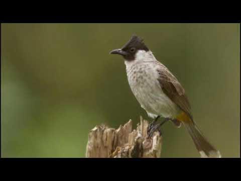 Suara Masteran - Burung Kutilang Sutra Gacor I Betina HD MP3 Audio #6