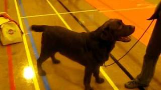 Labrador Retriver: Sh Ch Naiken Way Out West, In Wales Feb 2010