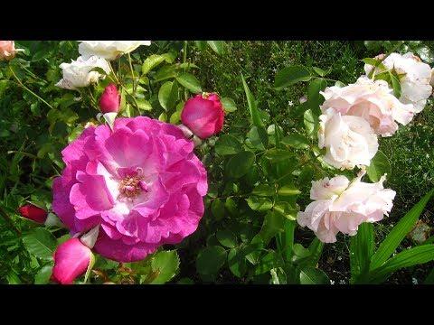 Обрезка и укрытие разных видов роз