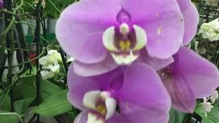 видео: Грандиозная уценка орхидей в Бауцентре !) Купила чудо чУдное))))