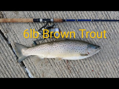 Chicago Fishing Montrose Harbor 6lb Brown Trout