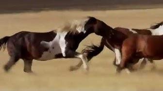 Discovery Channel - Dzika Ameryka - Mustangi