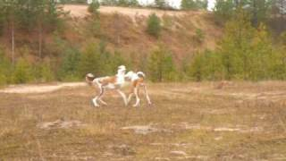 Ibizan Hounds running in a sandpit
