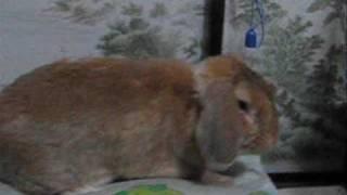 ロップイヤーウサギ まーちゃん2