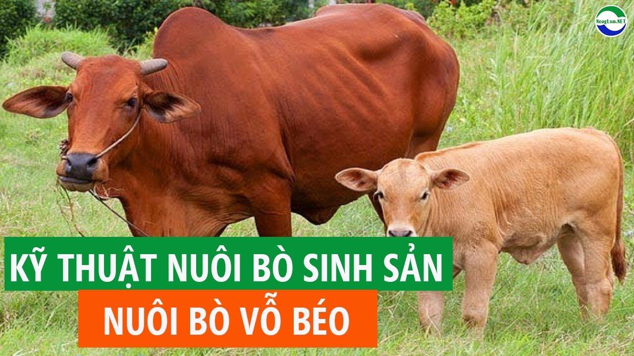 Hướng dẫn nuôi bò sinh sản, nuôi bò vỗ béo nhốt chuồng