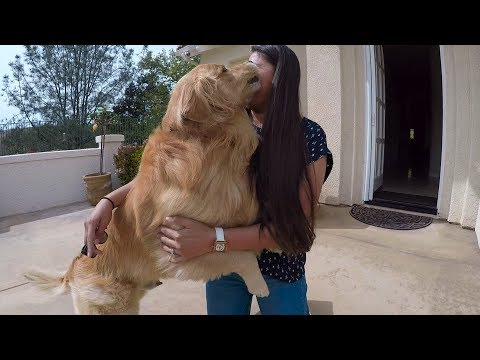 Oshie's Mom Is Finally Home | Golden Retriever VLOG