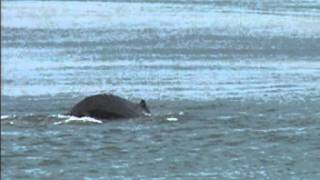Beautiful whale tale fluke with the sound of the surf