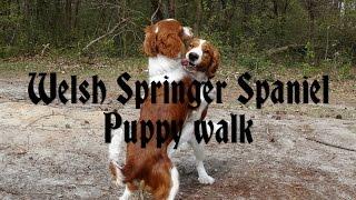 Welsh Springer Spaniel Puppy Walk