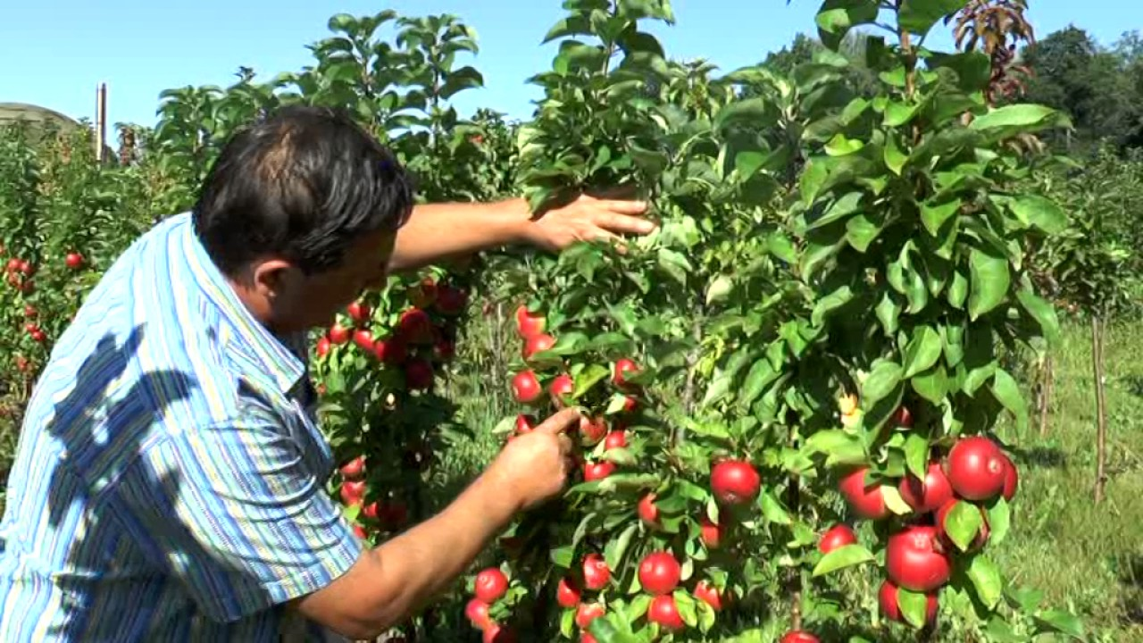 Сорта яблони исаева можно купить по телефону 8-915-319-59-47,. Сорт получен в москве из семян от свободного опыления гибрида антоновки.