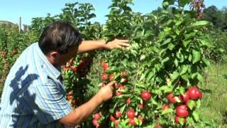 Яблоня колонновидная. Как избежать подделок