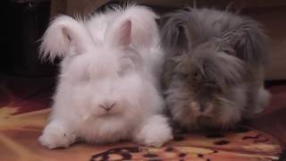 Ангорские кролики поют о любви