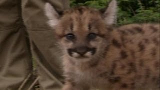 Kebun Binatang Jerman Menyambut Bayi Puma Baru