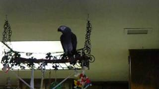African Grey Dayo
