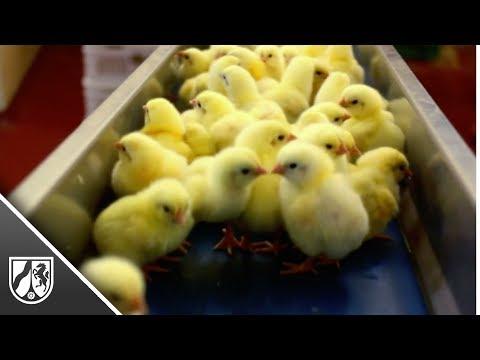 Kükentöten: Bundesgericht verhandelt Klagen von Brütereien from YouTube · Duration:  57 seconds