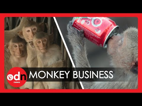 CRAZY! 6,000 Sex-Mad Sugar Fuelled Monkeys Rampage Through the Streets of Thailand