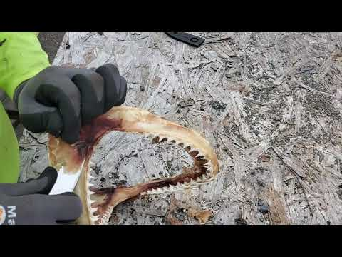 How to use Cheap Knife for Black tip shark teeth cleaning