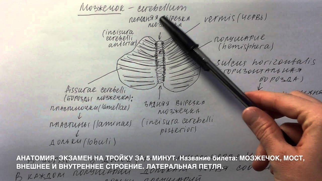 Мозжечек