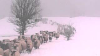 Ovce zimi