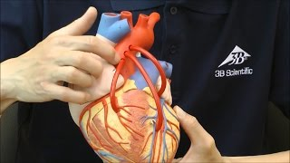 2倍大の大きな心臓模型,バイパス付き│G06