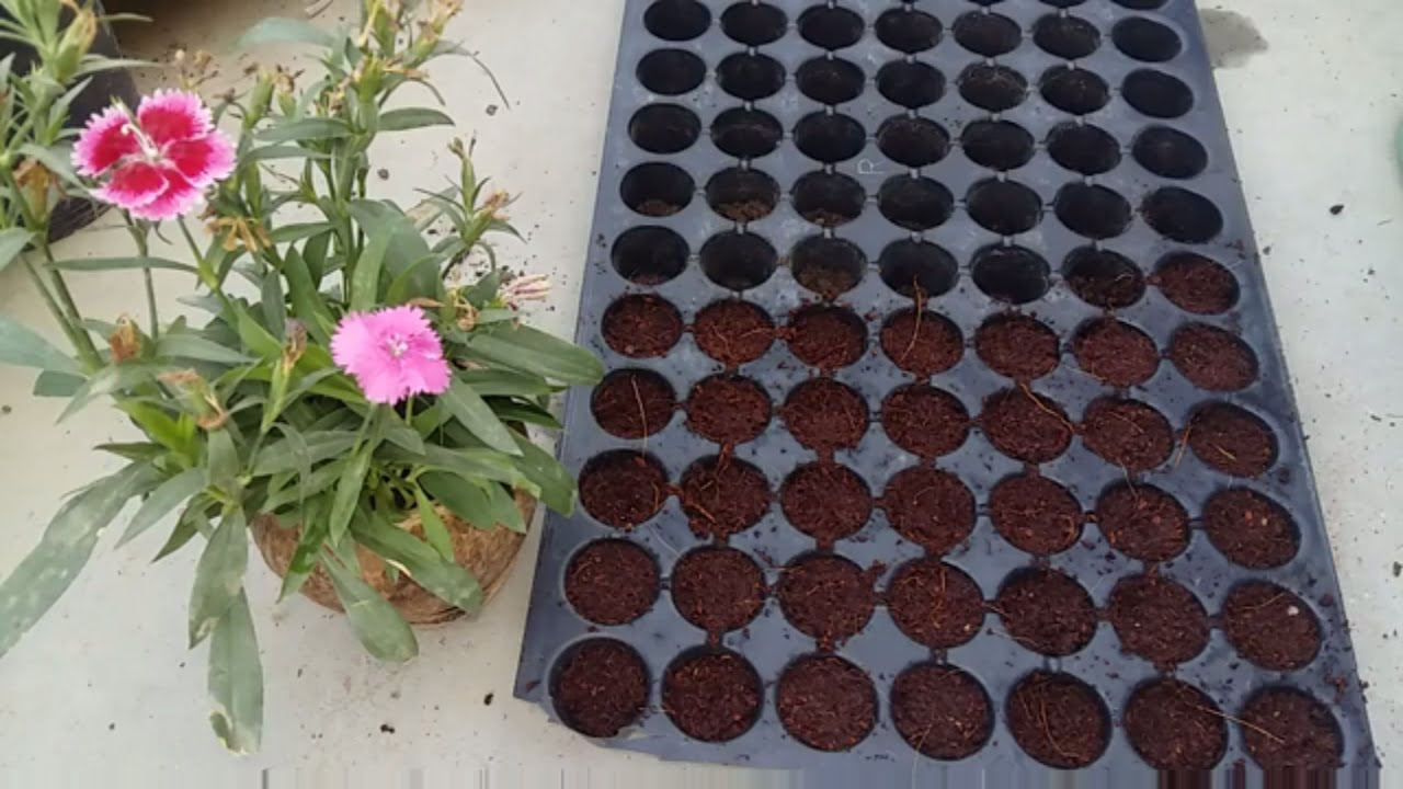 Growing plant from seeds//winter flower seeding // seeding in coco peat //  useing seeding try