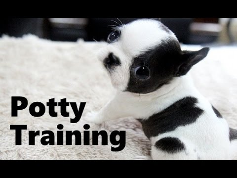 boston terrier potty training how to potty train a boston terrier boston terrier house 8646