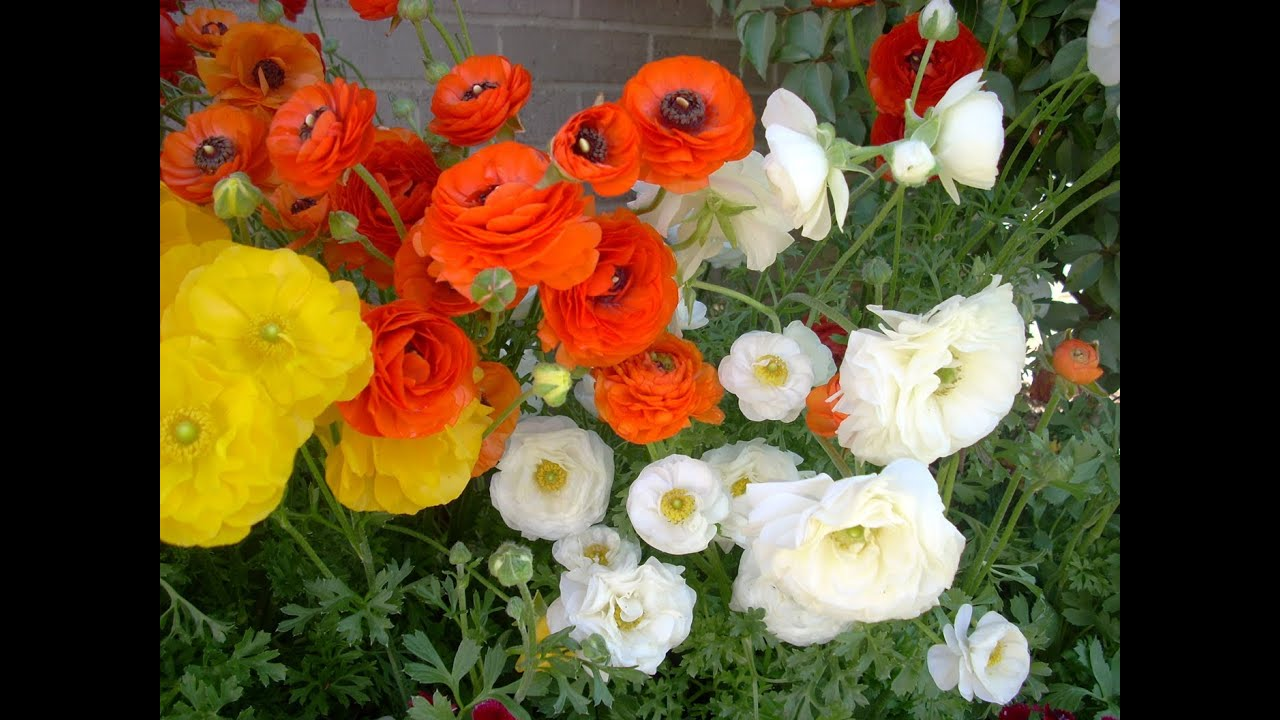 Flowers that bloom in winter months - Ranunculus Flower Power For Texas Winters