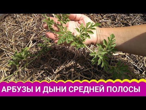 Вопрос: Почему в Беларуси плохо растут дыни?