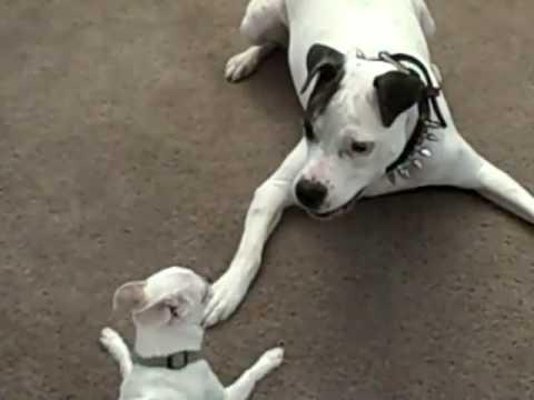 Pit bull vs Chihuahua