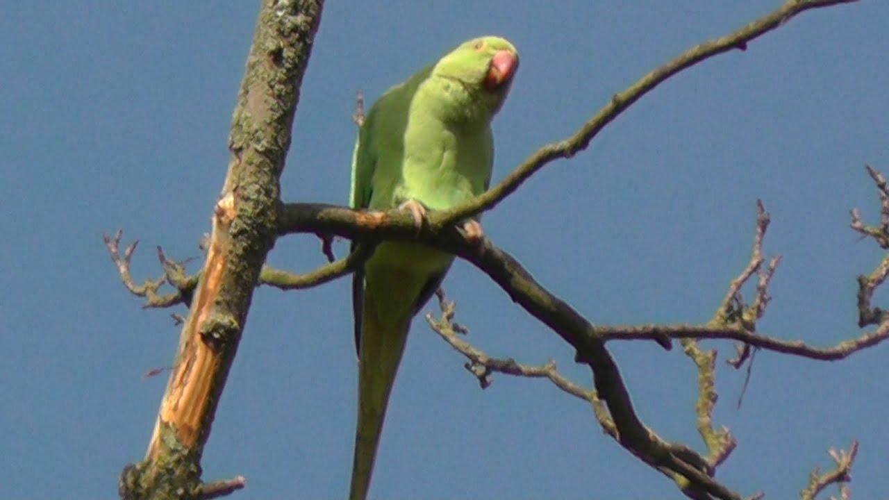 Wild Parakeets Parrots In Trees Adjacent To Wimbledon