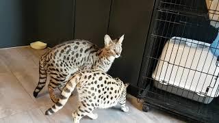 My Savannah cat friends 😍