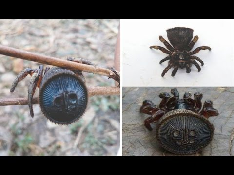 Rare Chinese Hourglass Spider is found by farmer in only the Sixth sighting in past 100 Years