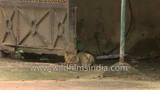 Indian stray cat walks into somebody's garden