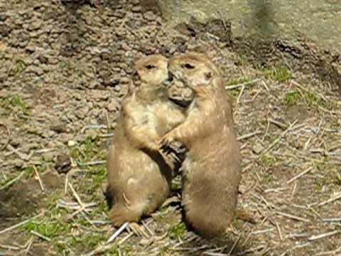 Kissing Prairie Dogs Youtube