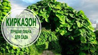 видео Многолетние лианы для сада, морозостойкие, тенелюбивые, красивые: фото и названия