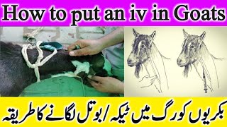 How to IV in goats | How to put an iv in goats | بکریوں کی رگ میں ٹیکہ لگانے کا طریقہ