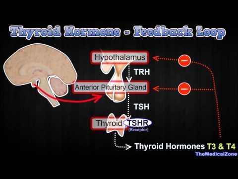 Thyroid Hormone Regulation Negative Feedback Loop Hypothalamus