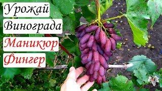 Виноград Маникюр Фингер Урожай
