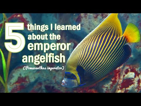 5 Things I Learned About Emperor Angelfish