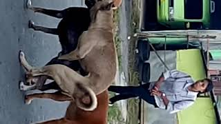 Viral vidio anjing ngentot