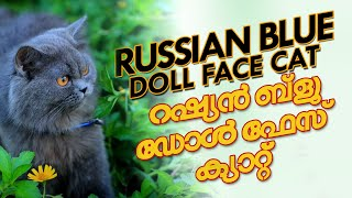 Traditional long hair dollface Russian blue cat