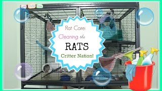 Rat Care: Cleaning the Rat