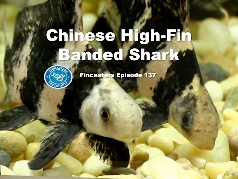 Chinese High Fin Banded Shark Fincasters Episode 137 Youtube