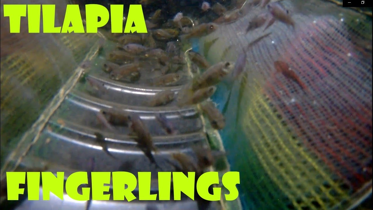 Backyard Tilapia Farming - Tilapia Fingerlings Update And ...