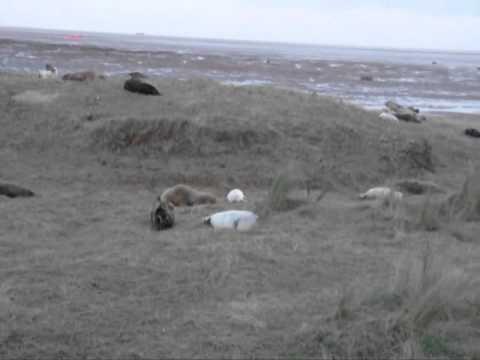 donna-nook-seals---3-december-2011