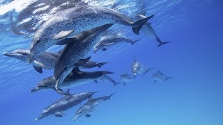 Dolphin Tales 1-2017 - Atlantic Spotted Dolphins of Bimini