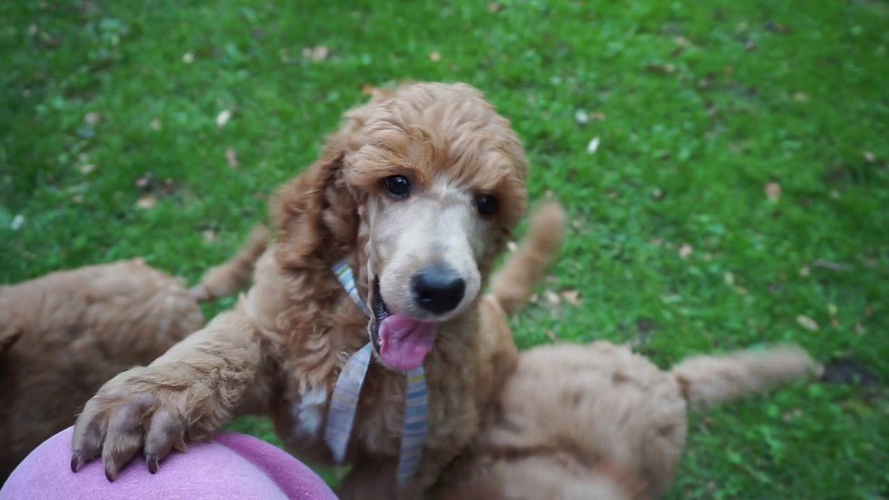 Red Standard Poodle Puppies At 8 Weeks Youtube