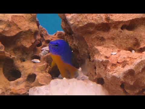 Damsel And Fox Face Rabbit Fish Added In My Tank